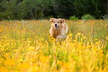 Golden Retriever Running In Th...