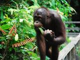 Fototapeta Zwierzęta - Spacer orangutana