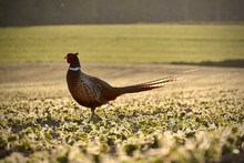 Common Pheasant On The Field -...