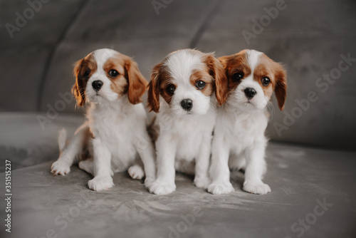 Valokuvatapetti three cavalier king charles spaniel puppies posing on a bed indoors
