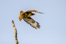 The Young Buzzard In UK Countr...