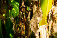 Dry Banana Leaves In The Plantation