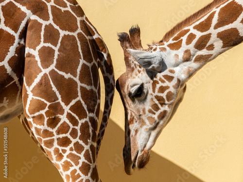 Portrait of a giraffe in a zoo Canvas Print