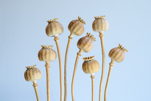 Close-up Of Opium Poppy Buds A...