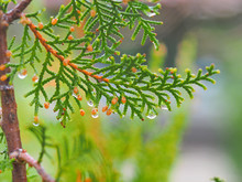 Raindrops On A Cypress Tree Twig