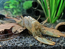 Molted Exoskeleton Of A Crayfish
