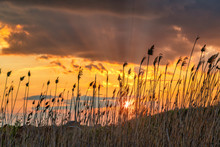 Dry Reeds At Sunset In The Eve...