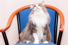 A Fluffy Cat With A Very Long Coat Sits On A Chair And Looks Up