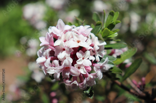 Closeup of pink and white flower cluster on daphne bush Fototapeta