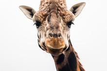 Giraffe Head Close Up