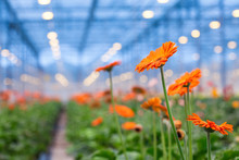 Orange Gerbera Flower On A Blu...