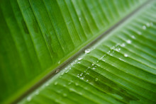 Water Drops On Banana Leaf
