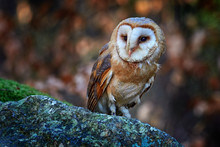 Owl In The Dark Forest. Barn Owl, Tyto Alba, Nice Bird Sitting On The Old Tree Stump With Green Fern, Nice Blurred Light Green The Background, Animal In The Habitat, France.
