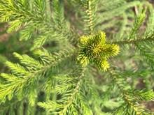 Close Up Green House Pine (Norfolk Island Pine)