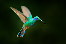 Hummingbird Flight. Green Violet-ear, Colibri Thalassinus, Flying In The Nature Tropical Wood Habitat, Red Flower, Tapanti NP, Costa Rica. Wildlife Scene From Jungle.