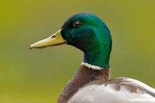 Bird Hidden In The Grass. Wate...