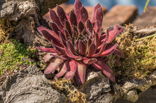 Colorful Red Sempervivum House...