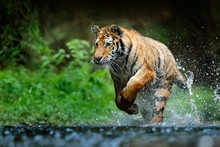 Amur Tiger Playing In The Wate...