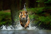 Amur Tiger Playing In The Water, Siberia. Dangerous Animal, Tajga, Russia. Animal In Green Forest Stream. Siberian Tiger Splashing Water.