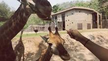 Cropped Image Of Hand Feeding Giraffe