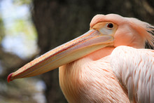 A Closeup Portrait Of Pelican Shot In Mysore Zoo.