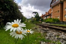 Daisies In The Railway