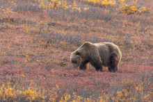 Grizzly Bear In Autumn In Dena...