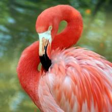 Close-up Of Flamingo Preening