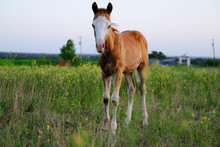 Young Foal Horse In Summer Far...