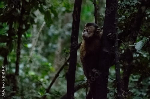 Fotografering Capuchin Monkey On Tree Trunk In Forest