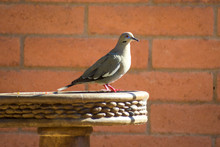 Mourning Dove In Profile On Br...