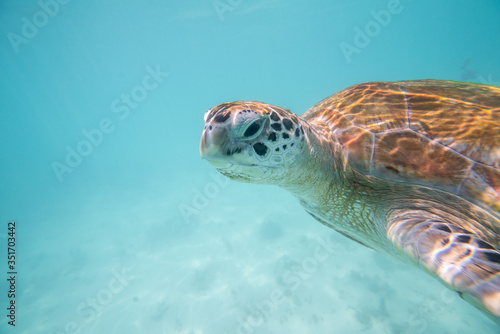 turtle swims in the clear ocean water Fototapet