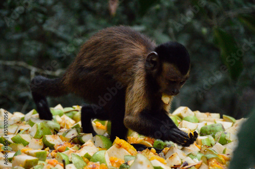Capuchin Monkey Eating Fruits In Forest Fototapeta