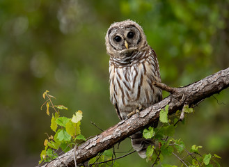 Barred Owl in Southern Florida