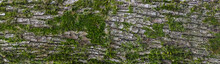 Panoramic Texture View Of Gray Tree Bark Surface With Green Moss And Lichen On It.