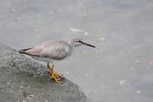 Gray Tailed Tattler In Water