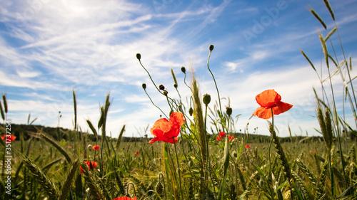 Fototapeta Close-up Of Poppies Blooming On Field Against Sky obraz na płótnie