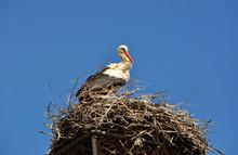 White Stork Perching In Nest Against Clear Blue Sky