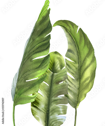 Fototapeta Watercolor set of banana leaves isolated on white background. Illustration for design kitchen, market, textiles, decorations, cards, wall poster obraz na płótnie