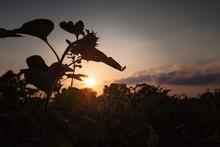 Silhouette Sunflower Against Sunset Sky