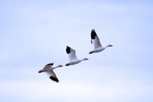 Low Angle View Of Snow Geese Flying In Sky