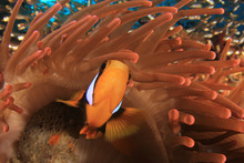 Clarke's Anemonefish (Clownfish) Fish In Red Anemone On Coral Reef