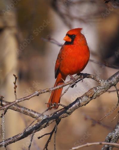 Billede på lærred Northern Cardinal Perching On Bare Tree Branch