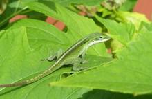 Green Anole Lizard On Leaf
