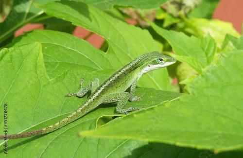 Canvas-taulu Green anole lizard on leaf