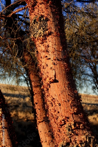 Fototapeta Red Mulga Trees in the Desert.
