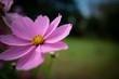 Leinwanddruck Bild - Close-up Of Pink Cosmos Flower