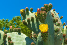 Yellow Flower Of Cactus Prickly Pear