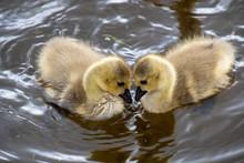 Two Goslings Gazing At Each Ot...