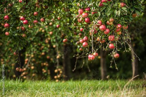 Fotografiet Fruits Growing On Tree